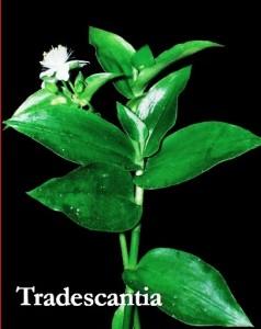 Tradescantia fluminensis - copia