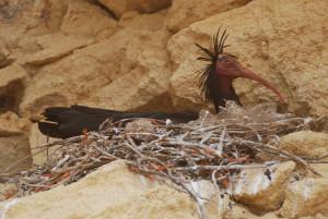 ibis eremita ja