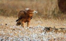 Uno de los cuatro pollos de águila imperial liberados en la Janda.  Daniel Burón