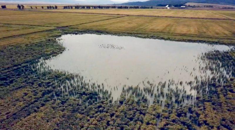 Una lámina de agua remansada en medio de campos de arroz que han sustituido a la laguna de La Janda reunía el domingo un bando de fochas comunes.