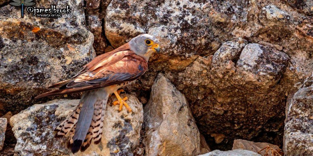 Macho de Cernícalo primilla (Falco naumanni), Fotografía de Jaime García Astorga